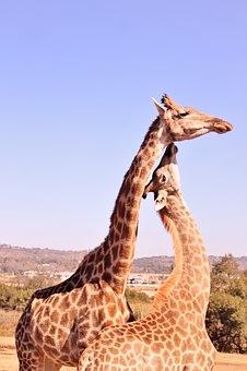 Conexão entre a mãe girafa e a cria.